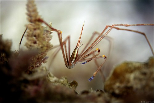 Arrow crab (La Restinga harbour night dive)
