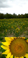 (dhill4910) Tags: ohio fruit farm orchard sunflowers patterson tych chesterland geaugacounty maxsdigi