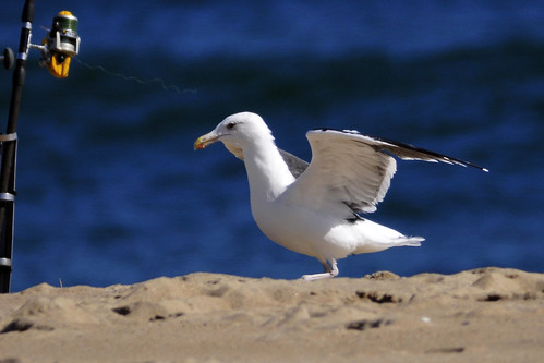 great black-backed gull threatening