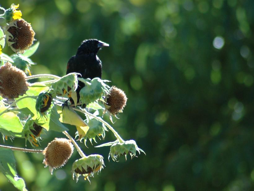 Bird with Sunflowers