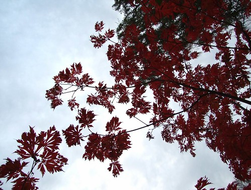 red japanese maple leaves. Red Japanese Maple leaves