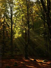 (Wildhearts1) Tags: autumn tree leaves skog hst trd sunbeams lv forset solstrlar bokskog