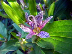 Toad Lily (kenman2010) Tags: flower lily toad