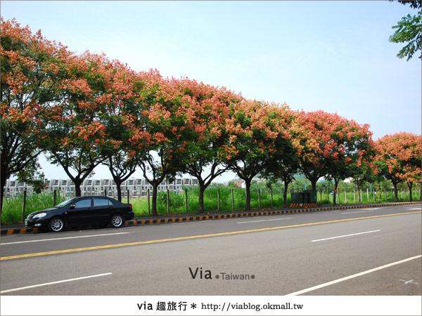 【台中】台灣秋天最美的街道!台中大坑發現美麗的台灣欒樹9