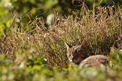 cat IMG_6999 (EmilasLex) Tags: cats oktober cat canon eos is october kat d gato romania katze 28 mm 50   70200 f28 ef con octombrie  2010 katt kissa maka 70200mm kucing gatta pusa mo     pisica f28l 50d  surduc oktubre  pisic eos50d campuri spalio