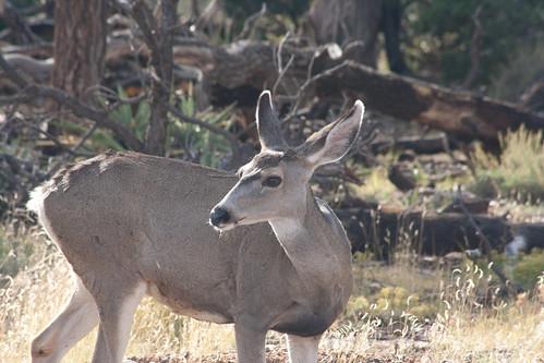 Hello, Mule Deer