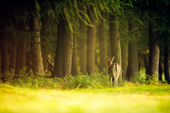 enchanted forest (andrew evans.) Tags: lighting wood morning autumn trees light england tree nature fairytale forest sunrise countryside kent woods nikon bokeh wildlife deer ethereal flare wonderland storybook magical f28 enchanted d3 400mm