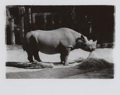 Rhino (yarnzombie) Tags: ohio blackandwhite white black film speed canon zoo diy high kodak ae1 telephoto ii rhino infrared oriental process expired rc vc rhinocerous develop hie columbos hc110b