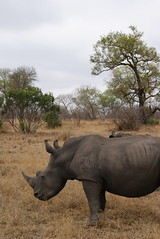 A rhinoceros at Kruger National Park in South Africa