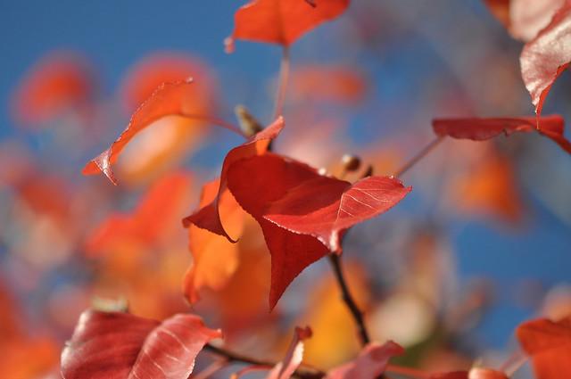 Fiery Leaves of Fall