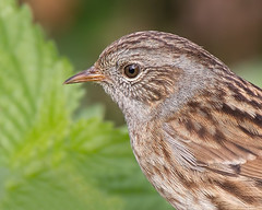 Dunnock Portrait (Andrew Haynes Wildlife Images) Tags: portrait bird nature rugby wildlife dunnock warwickshire draycotewater canon7d ajh2008