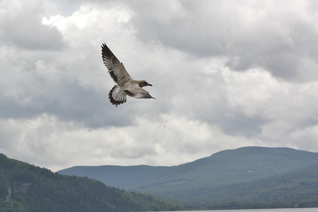 Seagulls at Crystal Lake (3)