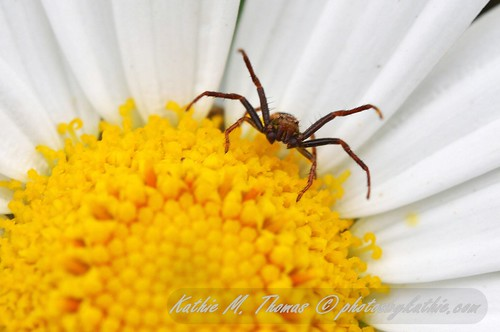 Brown spider in daisy