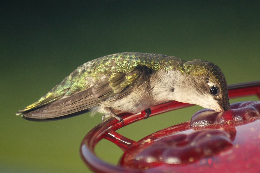 Ruby-throated hummingbird (12)