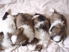 Teacup Yorkie For Sale By Private In Virginia Beach
