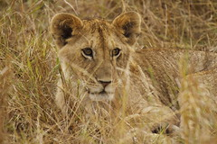 Kenya_2089 (MB23Photography) Tags: cub kenya lion safari simba masai masaimara kenyasafari jambo masaimaranationalpark