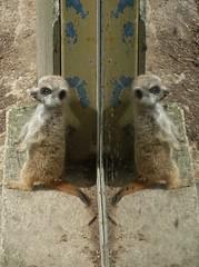 Meerkat baby (Abi Skipp) Tags: reflection zoo meerkat australia adelaide