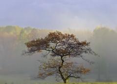 fine fall form... (Brian (aka treehugger_007 )) Tags: interestingness cleveland explore kirtland holdenarboretum ilovethistree morningdrivetowork afavoritetree coolandfoggymorning eastsideofsperryroad finefallform oldsugarbushparking loveitsform