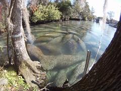 Endangered Florida manatee (Trichechus manatus), Crystal River National Wildlife Refuge, Florida (USFWS Endangered Species) Tags: marine florida manatee endangered mammals nationalwildliferefuge marinemammals westindianmanatee