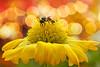 Wonderful day (-clicking-) Tags: lighting light flower macro floral beauty wonderful garden insect 22 petals nice dof blossom 26 bokeh ngc bee bloom flowering 018 pistils amazingbokeh allxpressus ahqmacro superamazingbokehaward masterclasselite comment72157625615702910i comment721576271471241461st