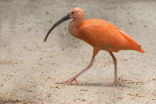 Guará  (Eudocimus ruber)  -  Scarlet Ibis