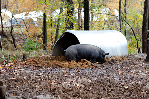 Female pig digging around