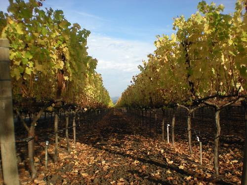 Vines in November