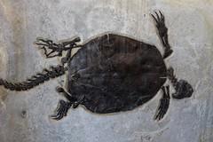 Fossil Turtle (Ron Wolf) Tags: fossil nationalpark turtle wyoming eocene tertiary reptilia cenozoic greenriverformation testudines fossilbuttenationalmonument baenidae chisternonundatum