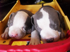 Cuteness!!! (Adventurous! photography) Tags: blue dog cute dogs nose pups puppies nap pit bulls pitbull napping pup brindle asleep bully doggies bluenose pitbulls bullies buly