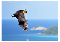 Seychelles fruit bat / flying fox (pentlandpirate) Tags: blue sea coral fruit relax islands sand paradise turquoise indianocean bat palm explore exotic granite tropical seychelles flyingfox equator fruitbat mahe ladigue seychellen pteropus seychelle seychellensis