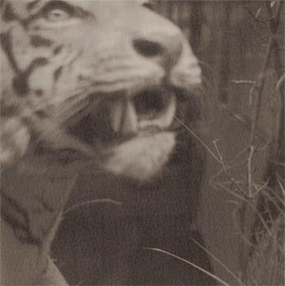 Tiger_blog