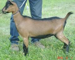 DAIRYLICIOUS DAFFODIL SUNSHINE - B001531297 (Erin Cooper Young Living) Tags: kids goat doe american daffodil dairy genetics 2010 oberhasli dairylicious adga goat:sex=doe goat:registry=american goat:breed=oberhasli b001531297 goat:regnumber=b001531297 goat:regname=dairyliciousdaffodilsunshine