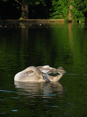 Cygnet Preening (Dave Roberts3) Tags: trees friends lake reflection bird water wales swan feathers preening cygnet newport countrypark tredegarhouse bej