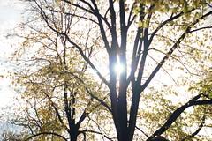 Amsterdam Sun Tree (pepemczolz) Tags: autumn sun tree leaves silhouette amsterdamsonya350minolta50mmf17