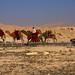 modern camel herding