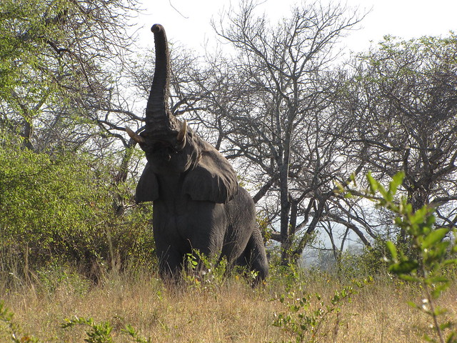 Sabi Sands - Elephant