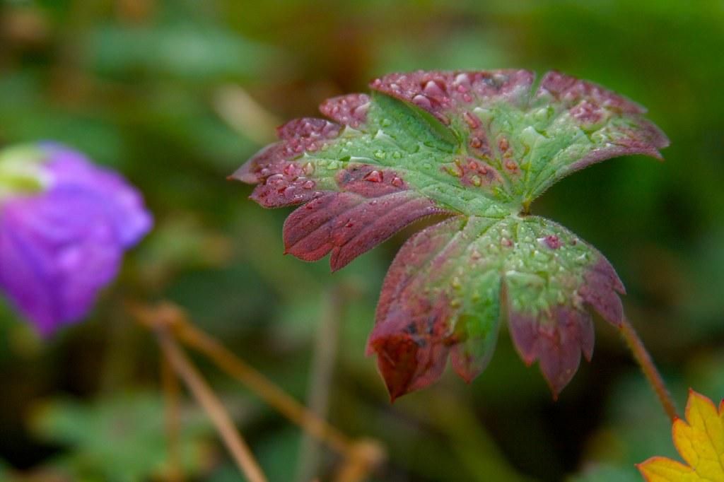 rozannegeranium1
