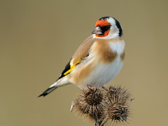 Goldfinch (Carduelis carduelis) (m. geven) Tags: autumn red brown bird fall nature animal fauna colorful feeding eating clown goldfinch herfst feathers natuur veer finch rood dier oiseau avian vogel oiseaux avifauna kleurrijk klit gelderland putter fringillidae foraging bosrand nld najaar veren cardueliscarduelis europeangoldfinch jaarvogel pluim kaardebol stieglitz chardonneret gardenbird etend zaadeter greaterburdock breedingbird tuinvogel fourageren groteklit vinkachtige bruintint foerageren gemeentezevenaar parkvogel behendig vrijalgemenebroedvogel nederlandthenetherlandsniederlande volierevogel kooivogel