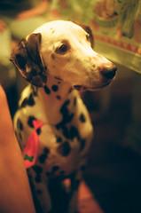 Cena en familia (renata.santoniero) Tags: dog cachorro dalmatian pentaxmx dlmata kodakultramax400