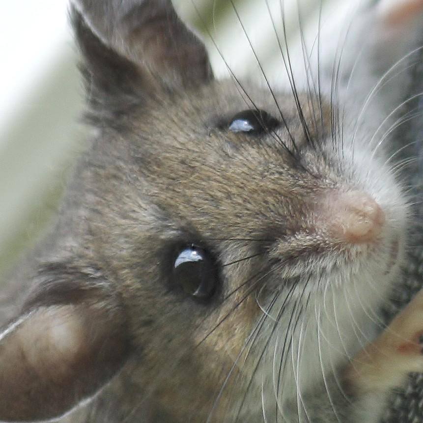Deer mouse (18)
