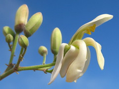 Moringa Oleifera as an alternative cleasing agent