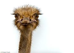 Flickr-meet Kort-i-Ko group @ Curacao Ostrich Farm. (jetrated) Tags: portrait bird netherlands saint animal st farm sint headshot ostrich ave curacao joris curazao vogel antilles boerderij antillen nederlandse struisvogel struthiocamelus kwekerij korsou avestrus highqualityanimals