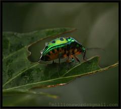 Shield Back Bug [Scutelleridae] (MillionSwords) Tags: scutelleridae chennaiweekendclickers cwcwalk jewlelbug cwc67thwalk