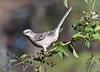Northern Mockingbird Poses (Maggggie) Tags: bird nature bush berries northernmockingbird nikonmoment vanagram bestofmywinners qualitygold