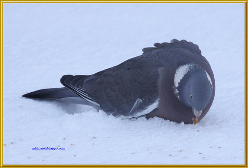 Wood Pigeon in the Snow 2
