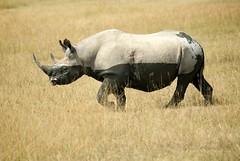 Black Rhino (Dave Schreier) Tags: africa wild lake david black grass dave tanzania kenya mara rhino serengeti nakuru masai schreier wwwdlsimagescom