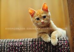 Lamby The Kitten