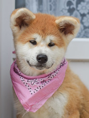 Yasuhime (stphanielegay) Tags: yasuhime akitainu dog mydog dogjapanese photography dogphotography nikond7200 50mmf18d nikon bandana