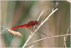 Feuerlibelle (Crocothemis erythraea) (Maggi_94) Tags: feuerlibelle crocothemiserythraea segellibellen libellulidae groslibellen anisoptera insekten insekt insecta scarlet dragonfly libelle libellen