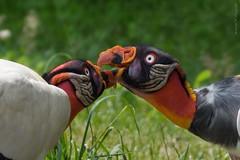 nun gib mir schon ein bussi :-) (marionB-fotografie) Tags: tier tiere animal animals vögel vogel greifvögel geier königsgeier tierparkberlin bird
